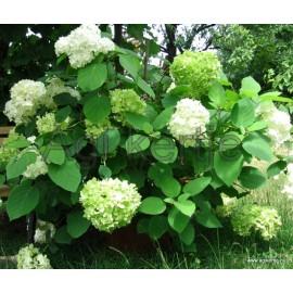 Cserjés hortenzia-Fehér-Hydrangea arborescens