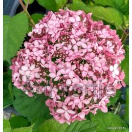 Cserjés hortenzia-Rózsaszín-Hydrangea arborescens- Invincibelle