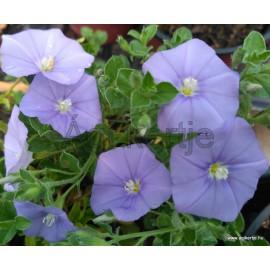 Kék Mauritius-Balkonszulák-Convolvulus sabatius