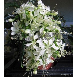 Bókoló végzetcserje-Clerodendrum nutans-Clerodendrum wallichii