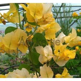 32-Világossárga - Murvafürt - Bougainvillea - Hawaii Yellow
