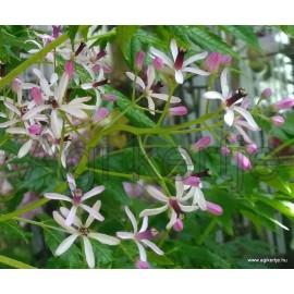 Gyöngyfa, Imafüzérfa - Melia azedarach