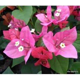 39-Rose-rózsaszín- Bougainvillea-Murvafürt