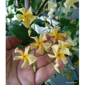 Toszkán csillagjázmin - Trachelospermum jasminoides 'Toscana'