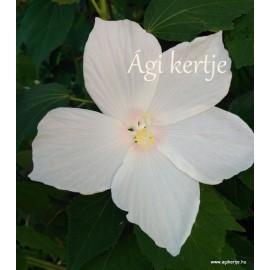 Mocsári hibiszkusz - Hófehér -  Hibiscus moscheutos
