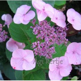 Hydrangea serrata DOLCE GIPSY