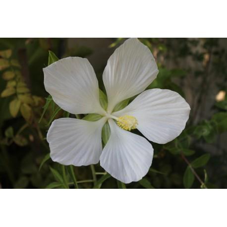 Kenderlevelű hibiszkusz mag - hófehér - Hibiscus coccineus Alba
