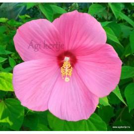 Rózsaszín mocsári hibiszkusz - Hibiscus moscheutos