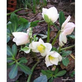 Karácsony rózsája -Fekete hunyor - Helleborus niger
