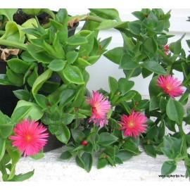 Szívlevelű  kristályvirág, Jegecske, zöld levelű -  Aptenia cordifolia