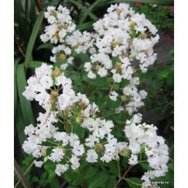 Selyemmirtusz, fehér színű - Lagerstroemia indica