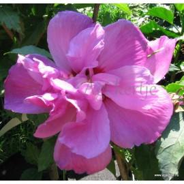 Kerti mályvacserje , teltvirágú, sötét rózsaszín - Hibiscus syriacus