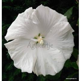 Kerti mályvacserje , hófehér óriásvirágú - Hibiscus syriacus
