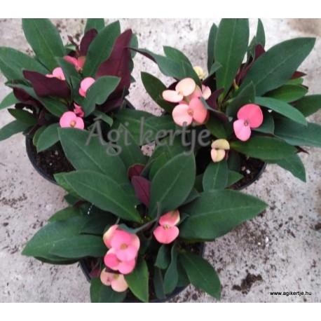 Pompás kutyatej-Euphorbia milii