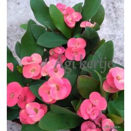 Pompás kutyatej - Pirosas rózsaszín - Euphorbia milii
