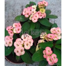 Pompás kutyatej - Sárgás rózsaszínes -  Euphorbia milii