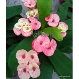 Pompás kutyatej - Pöttyös-foltos - Euphorbia milii