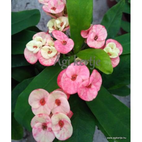 Pompás kutyatej - Euphorbia milii