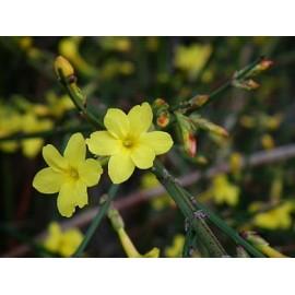 Téli jázmin - Jasminum nudiflorum