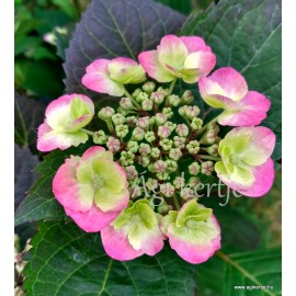 Hydrangea serrata  COTTON CANDY