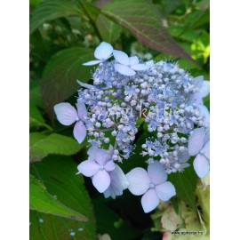 Hydrangea serrata  BLUE DECKL