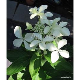 Bugás hortenzia - Hydrangea paniculata - GREET STAR