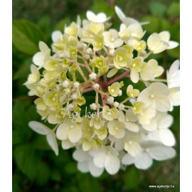 Bugás hortenzia - Hydrangea paniculata SUNDAE FRAISE