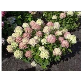 Bugás hortenzia - Hydrangea paniculata LITTLE LIME