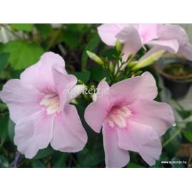 Ausztrál kúszójázmin, rózsaszín- Pandorea jasminoides