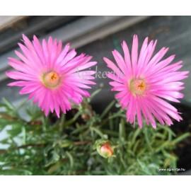 Fás szárú kristályvirág - Lampranthus