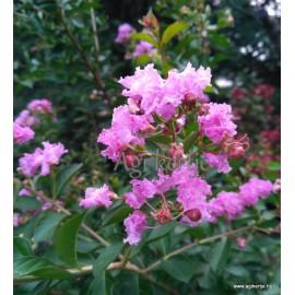 Krepp mirtusz - Selyemmirtusz, rózsaszín - Lagerstroemia indica