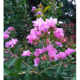 Selyemmirtusz - Kreppmirtusz, rózsaszín - Lagerstroemia indica