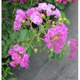 Krepp mirtusz - Selyemmirtusz, lilás-rózsaszín - Lagerstroemia indica