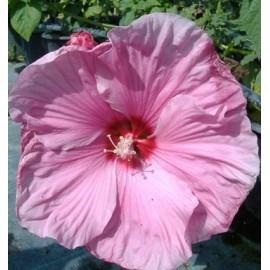 Mocsári hibiszkusz - Hibiscus moscheutos - Habos rózsaszín