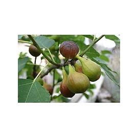 Füge - Ficus carica