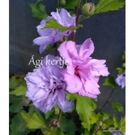 Kerti mályvacserje , teltvirágú  rózsaszín - Hibiscus syriacus