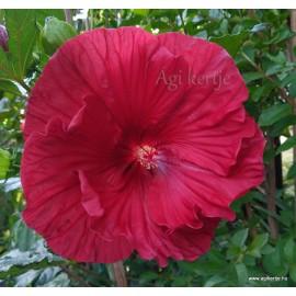 Mocsári hibiszkusz - Hibiscus moscheutos - CRANBERRY CRUSH