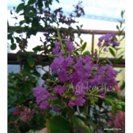 Selyemmirtusz mag, Lagerstroemia - lila színű