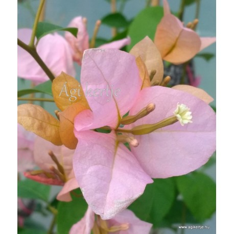 59-Narancsos-rózsaszín--Blondie - Hugh Evans - Murvafürt-Bougainvillea