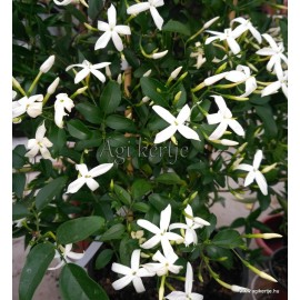 Azori jázmin-Jasminum azoricum