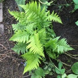 Kerti páfrány - Erdei pajzsika - Dryopteris filix-mas