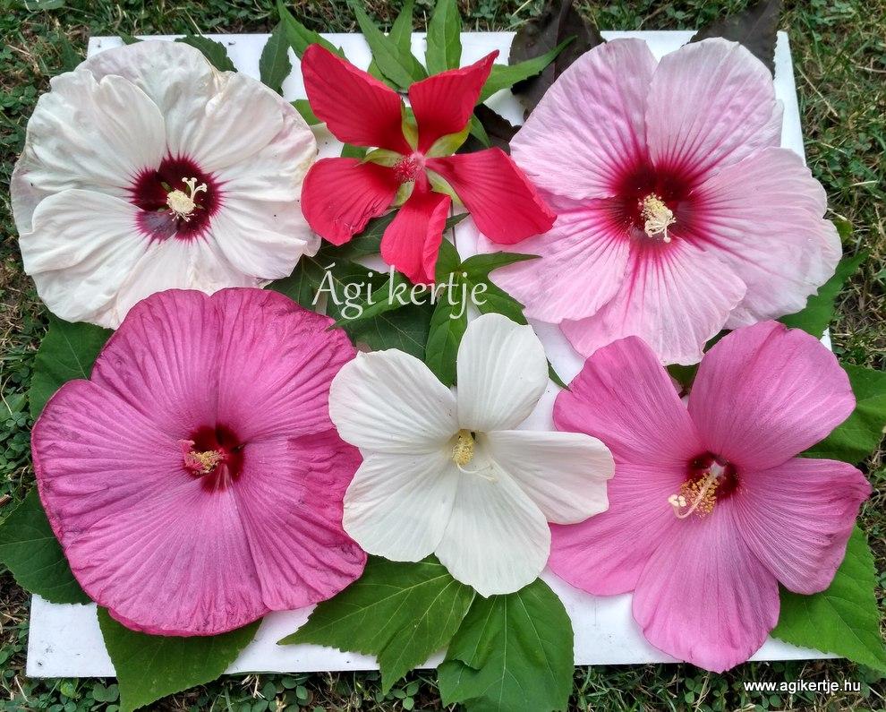 Hibiscus moscheutos - Mocsári hibiszkusz - Ági kertje